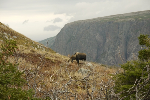 Checking out a moose grazing in the mountains of Gros Morne National Park